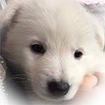 ホワイトシェパード ブリーダー 子犬専門店AngelWan 横浜