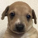 イタリアングレーハウンド ブリーダー 子犬専門店AngelWan 横浜