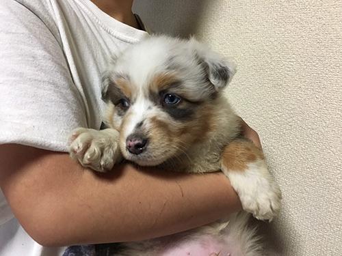 オーストラリアンシェパード ブリーダー 子犬専門店AngelWan 横浜