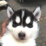 シベリアンハスキーの子犬 ブリーダー 子犬販売の専門店 AngelWan 横浜