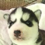 シベリアンハスキー ブリーダー 子犬専門店AngelWan 横浜