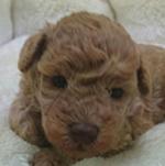 チワプー ブリーダー 子犬専門店AngelWan 横浜