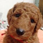 スタンダードプードル ブリーダー 子犬専門店AngelWan 横浜