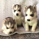 シベリアンハスキー ブリーダー 子犬販売のAngelWan 横浜