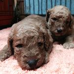スタンダードプードル ブリーダー 子犬販売の専門店 AngelWan 横浜