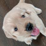 ゴールデンレトリバー ブリーダー 子犬専門店AngelWan 横浜