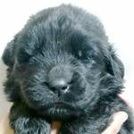 ニューファンドランド ブリーダー 子犬専門店AngelWan 横浜