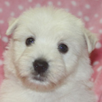 ウエストハイランドホワイトテリア ブリーダー 子犬専門店AngelWan 横浜
