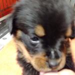 ロットワイラー ブリーダー 子犬専門店AngelWan 横浜