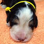 バーニーズマウンテンドッグ ブリーダー 子犬専門店AngelWan 横浜