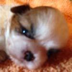 シーズー ブリーダー 子犬専門店AngelWan 横浜