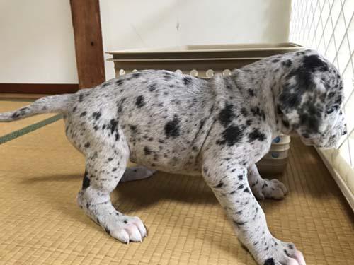 グレートデーン ブリーダー 子犬専門店AngelWan 横浜