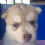シベリアンハスキーの子犬