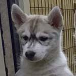 シベリアンハスキー ブリーダー 子犬専門 AngelWan 横浜