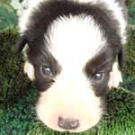 ボーダーコリー ブリーダー 子犬専門 AngelWan 横浜