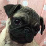 パグ ブリーダー 子犬専門 AngelWan 横浜