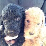 スタンダードプードル ブリーダー 子犬専門 AngelWan 横浜