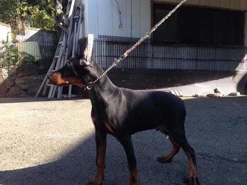 ドーベルマン ブリーダー 子犬専門 AngelWan 横浜