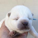 柴犬の子犬(豆柴サイズ) ブリーダー 子犬専門 AngelWan 横浜