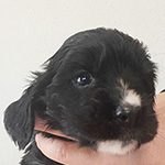 イングリッシュコッカースパニエルの子犬 ブリーダー 子犬専門 AngelWan 横浜