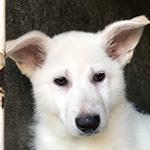 ホワイトシェパードの子犬 ブリーダー 子犬専門 AngelWan 横浜