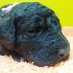 スタンダードプードルの子犬 ブリーダー 子犬専門 AngelWan 横浜