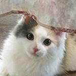 ノルウェージャンフォレストキャットの子猫 ブリーダー 子犬専門 AngelWan 横浜