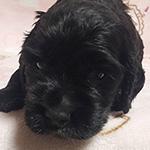イングリッシュコッカースパニエル ブリーダー 子犬専門 AngelWan 横浜