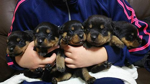 ロットワイラーの子犬 ブリーダー 子犬専門 AngelWan 横浜