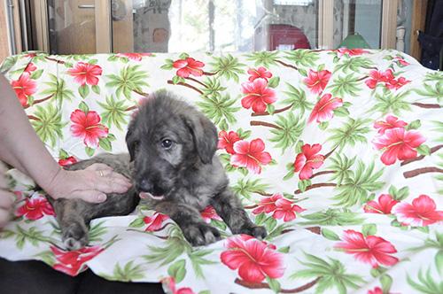 アイリッシュウルフハウンドの子犬 ブリーダー 子犬専門 AngelWan 横浜