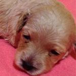 ダップーの子犬 ブリーダー 子犬専門 AngelWan 横浜