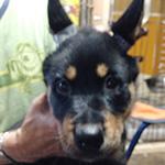 ウルフドッグの子犬 ブリーダー 子犬専門 AngelWan 横浜