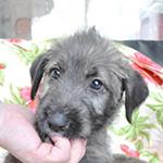 アイリッシュウルフハウンドの子犬