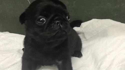 パグの子犬 ブリーダー 子犬専門 AngelWan 横浜
