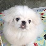ペキニーズの子犬 ブリーダー 子犬専門 AngelWan 横浜