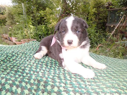 ボーダーコリーの子犬 ブリーダー 子犬専門 AngelWan 横浜