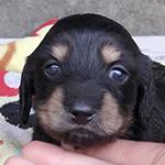 ミニチュアダックスフンドの子犬 ブリーダー 子犬専門 AngelWan 横浜