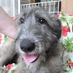 アイリッシュウルフハウンド 子犬 ブリーダー