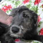 アイリッシュウルフハウンド ブリーダー 仔犬販売の専門店 AngelWan