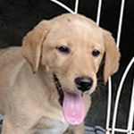 ラブラドールの子犬 ブリーダー 子犬専門 AngelWan 横浜