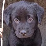 ラブラドールレトリバーの子犬 ブリーダー 子犬専門 AngelWan 横浜