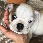 ブルドッグ ブリーダー 仔犬販売の専門店 AngelWan