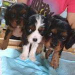 キャバリアの子犬 ブリーダー 仔犬販売の専門店 AngelWan