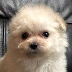 ミックス 子犬販売の専門店 AngelWan ブリーダー
