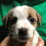 ジャックラッセルテリアの子犬 ブリーダー 仔犬販売の専門店 AngelWan