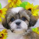 シーズーの子犬 ブリーダー 子犬専門 AngelWan 横浜