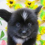 パピポメの子犬 ブリーダー 子犬専門 AngelWan 横浜