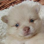 ポメラニアンの子犬 ブリーダー 子犬専門 AngelWan 横浜