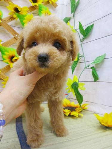 マルプーの子犬 ブリーダー 子犬専門 AngelWan 横浜