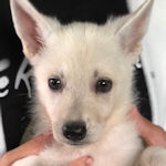 ホワイトシェパードドッグ ブリーダー 仔犬販売の専門店 AngelWan